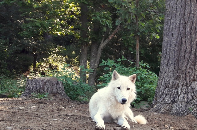 """""""Sometimes they need Pepsid"""" – Meet an Aspiring Wolf from a Remote Village"""